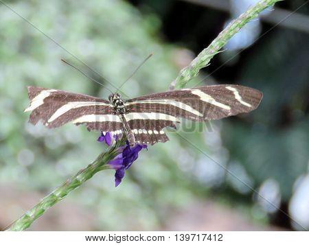 The Zebra Longwing butterfly in garden of Niagara Falls Ontario 16 July 2016 Canada