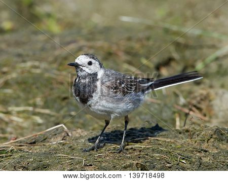 White wagtail (Motacilla alba) standing on the ground in its habitat