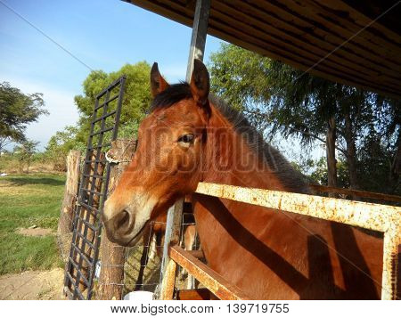 Brown horse with black hair peering out an outdoors stable