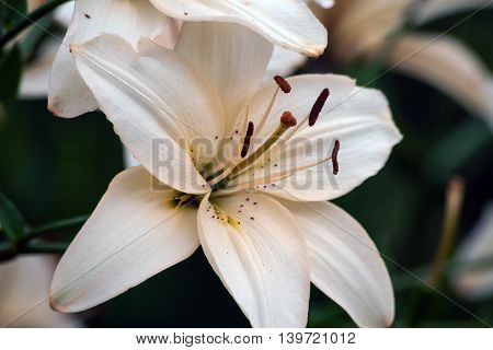 beautiful white and brown lily growing in the garden of a cloudy day, the color of coffee with milk