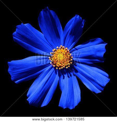 Blue Surreal Flower Primula Macro Isolated On Black