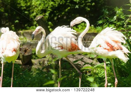 Group of pink flamingos in bright summer day
