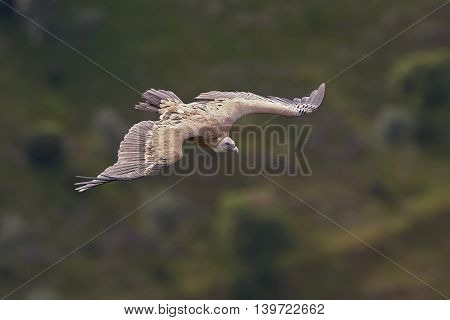 Griffon vulture (Gyps fulvus) in flight with vegetation in the background