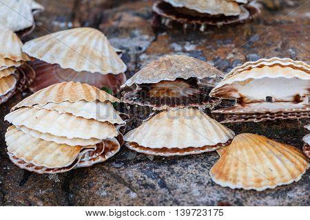 Many empty scallop shells lying on rocks. Norway.