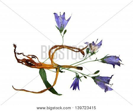 bizarre curved extruded dried lily petals. Pressed gentle blue campanula