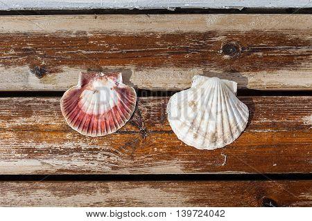 Scallop shell lying on terrace board. Norway.