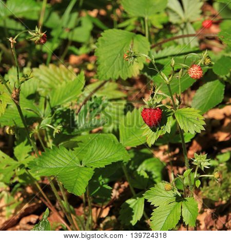 Wild growing forest strawberry photographed and eaten in the Swiss Alps.