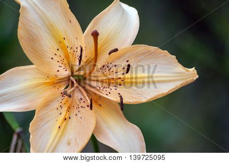 beautiful delicate orange lily growing in the garden of a cloudy day, yellow, green