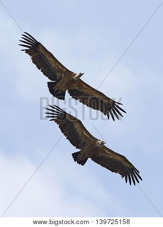 Two Griffon vultures in flight with blue skies in the background