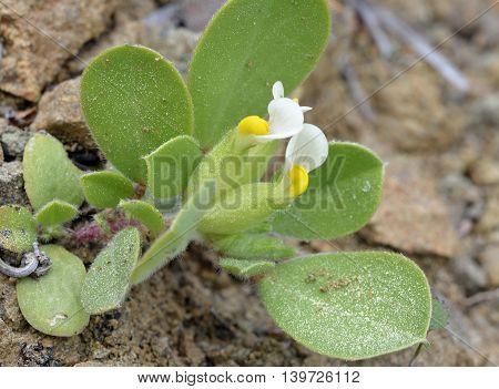 Bladder or Annual Kidney Vetch - Tripodion tetraphyllum syn. Anthyllis tetraphylla Physanthyllis tetraphylla