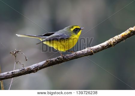 Yellow-bellied Fantail Rhipidura hypoxantha Birds of Thailand