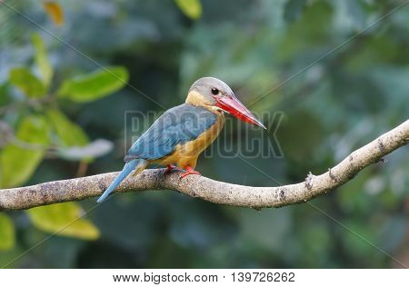 Stork-billed Kingfisher Pelargopsis capensis Birds of Thailand