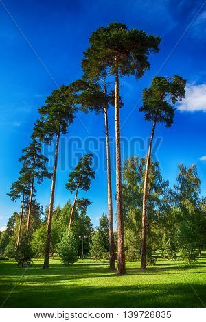 landscape of high pine trees in a green Park