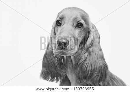 Portrait of beautiful young brown English cocker spaniel dog isolated over white background. Closeup studio shot. Copy space. Monochrome image.