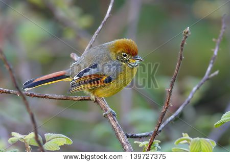 Bar-throated Minla Chestnut-tailed Siva Minla strigula Birds of Thailand