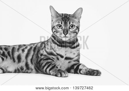 Portrait of beautiful bengal cat isolated over white background. Closeup. Copy space. Monochrome.