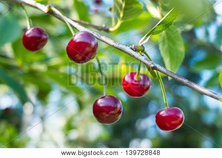 Ripe red cherries on a tree branch. The fruit in the garden is ripe for the picking. Nature gives vitamins in each fruit. Delicious berries.