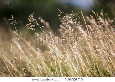 landscape summer grass meadow close-up selective focus