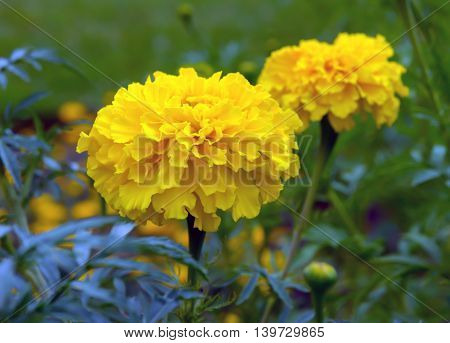 beautiful bright yellow marigolds growing in the park cloudy day,two  flowers