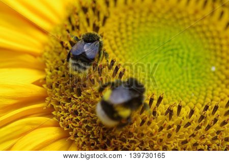 Close up photo of bees on sunflower