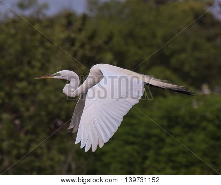 Great Egret flying across the pond in Florida.