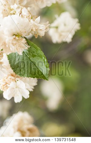 flowers and leaves of the cherry blossom on blurred background