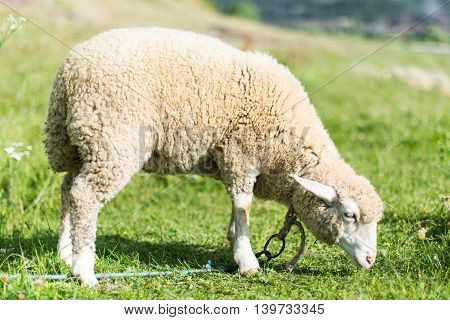 sheep grazing in a meadow farmland, fauna