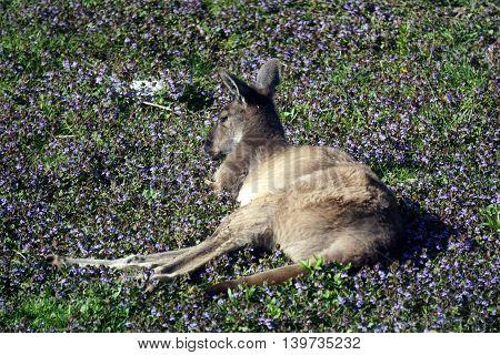 A western grey kangaroo (Macropus fuliginosus) rests amidst flowers on the ground.