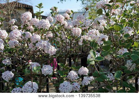 A Burkwood viburnum bush blooms in Illinois during April.