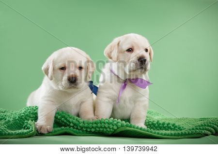 Little Puppys Labrador Retriever