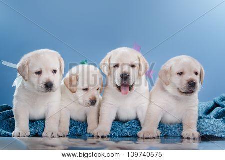 Little puppys Labrador retriever portrait dogs on a studio color background