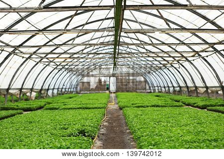 Young plants growing in a large greenhouse