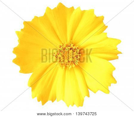 Beautiful yellow cosmos flower isolated on white