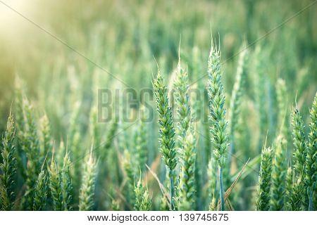 Green wheat field - unripe young wheat