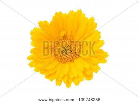 yellow ,beautiful  marigold isolated on white background