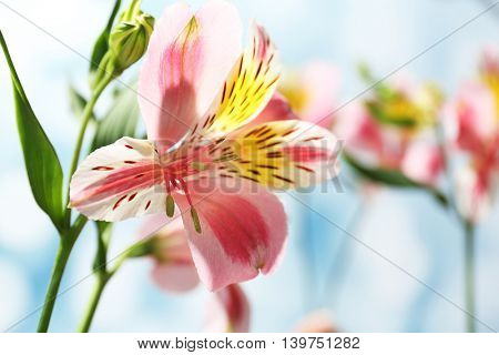 Alstroemeria on blue background
