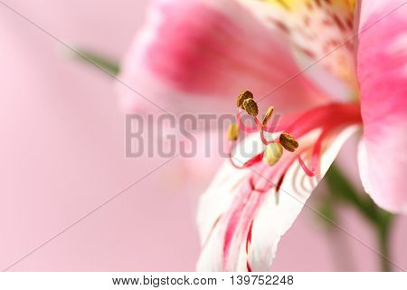 Alstroemeria on pink background