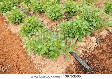 Vegetable sprout and water system on the soil garden