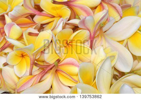 Pile of yellow fresh plumeria flowers closeup.