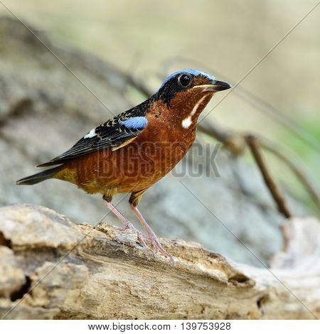 A Male Of White-throated Rock Thrush (monticola Gularis) The Orange Chest And Blue Back Bird Perchin