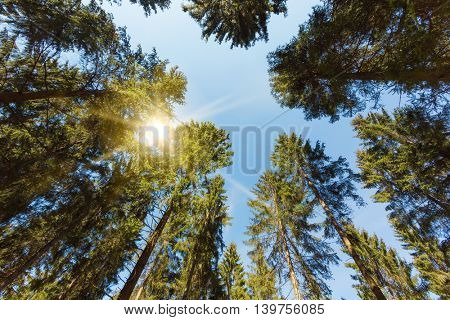 Tree tops of pine trees in the forests of the German Eifel region