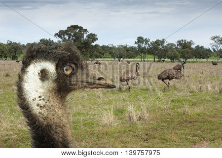 Emu close up of head with other emus in the background
