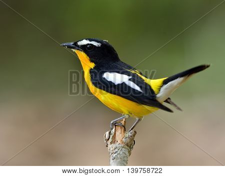 Male Of Yellow-rumped Flycatcher (ficedula Zanthopygia) The Beautiful Yellow Bird Perching On The Br