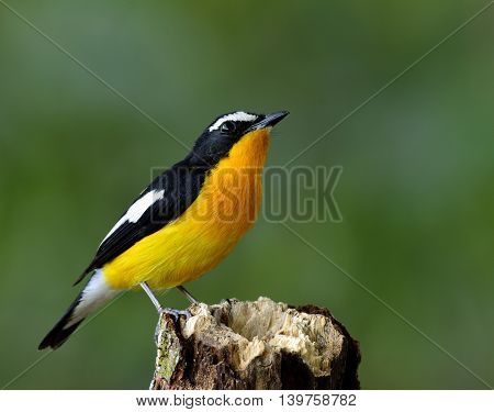 Male Of Yellow-rumped Flycatcher (ficedula Zanthopygia) The Beautiful Yellow Bird Perching On The Wo