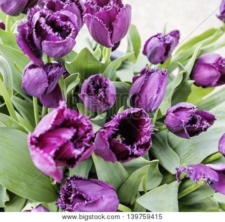 bunch of tulip flowers close up for background, unusual rare shape