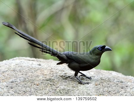 Racket-tailed Treepie (crypsirina Temia) The Dark Green And Black Bird With Black Mask On Its Blue E
