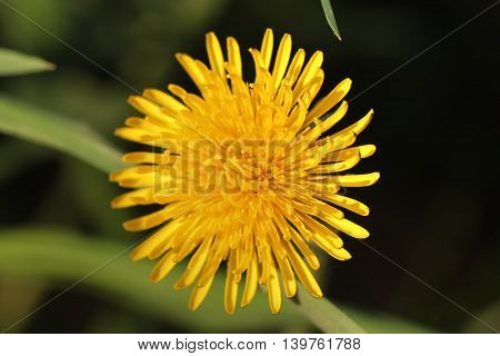 The blossoming dandelion growing on a summer meadow.