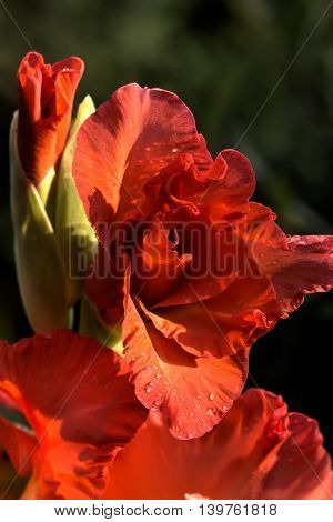 The blossoming gladiolus growing in a flight garden.