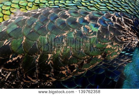 The Velvet Dark Blue And Green Texture Of Indian Peacock Featersl, The Most Beautiful Background