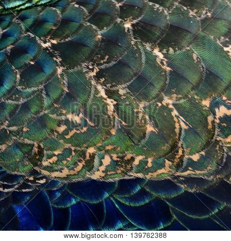 The Very Exotic And Velvet Of Dark Blue And Green Texture Of Indian Peacock Bird's Wing Feathers, Be